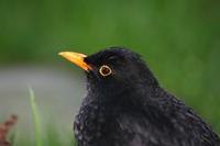 Vogelgesang 3 klingelton